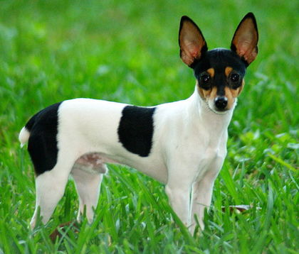 800px-Toy_Fox_Terrier_2.jpg