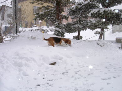 雪(水)を得たビーグル(さかな)