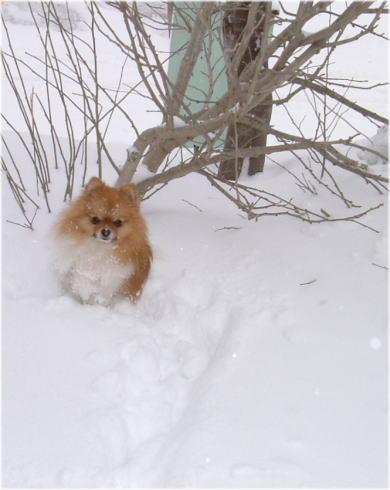 北方祖先犬ですから