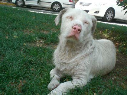 albino_rottweiler_picture.jpg