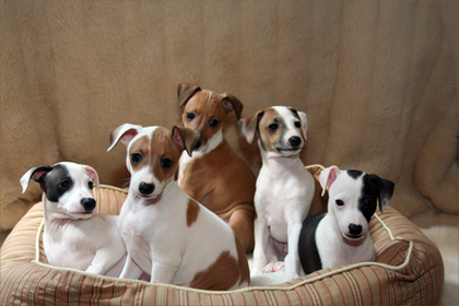 italian-greyhound-puppies.jpg